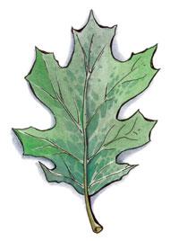 Silvanus symbol