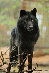 Lucas Werewolf form -2