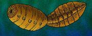 Xidazoon stephanus e