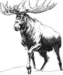 Critter Snow Moose