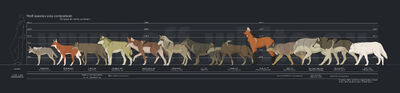 Wolf species size comparison by tanathe