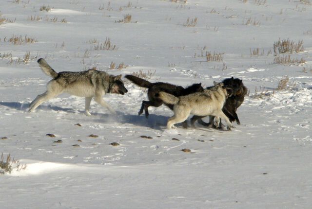 File:Dismay and Silhouette Being Chased Out of Pack Territory.jpeg