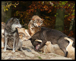 Wolf fight by ceridwens gallery-d322sfg