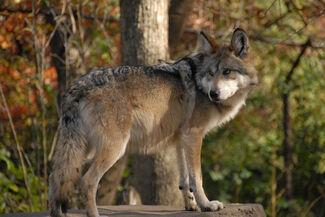 Mexican Wolf1