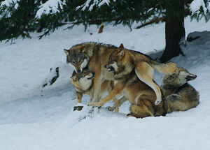 Majestes Wolf Pack