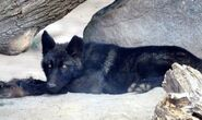 Black-wolf-pup-800x600-cropped