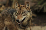Wolf Osna11H-Loot-06