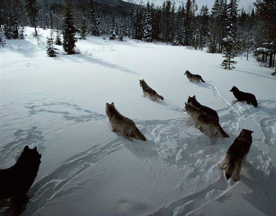 File:Serenade Wolf Pack.jpg