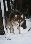 A young grey wolf by picturebypali-d3hcag2
