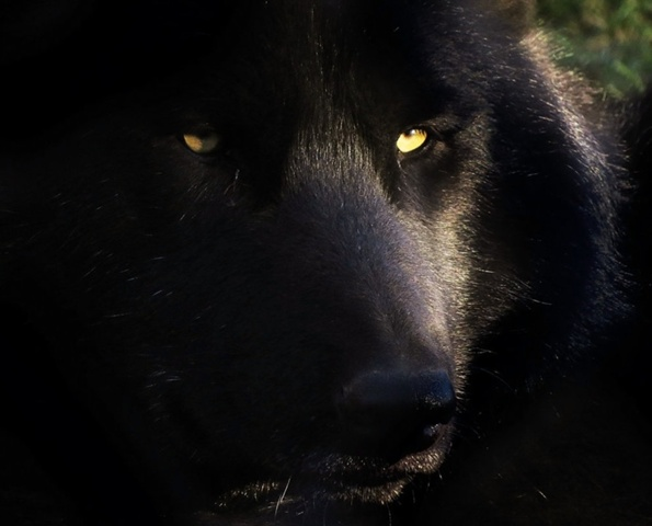 File:595px-Timber wolf stock 11 by hotnstock-d5nu3w3.jpg