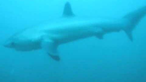 Thresher Sharks at Malapascua