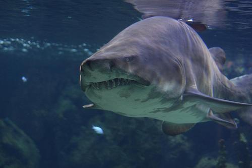 Zoo - Sand Tiger Shark- Berlin- August 2011