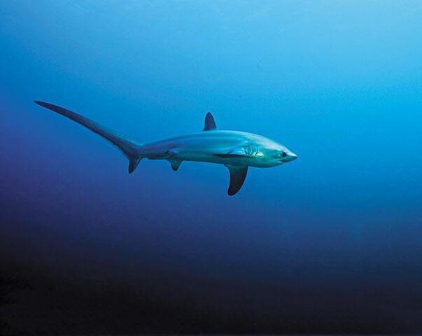 File:Thresher-shark-large-1.jpg