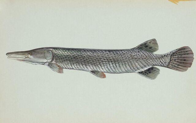 File:Alligator-gar-fish.jpg