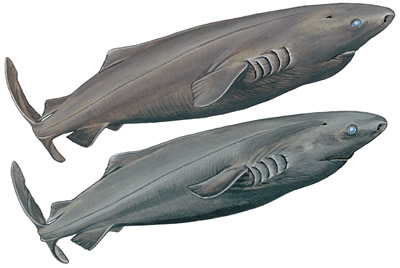 File:15-PACIFIC-SLEEPER-SHARK.jpg