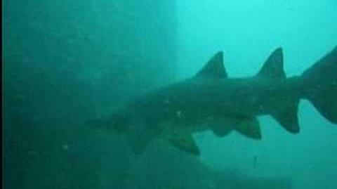 Sand Tiger Sharks off North Carolina