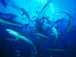 Feeding-frenzy-sharks