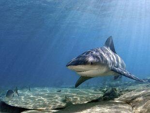Bull-shark 769 600x450