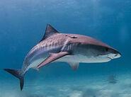 FileTiger shark