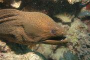 Moray eel6