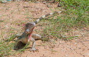 1200px-Iguana from Vereda del Lago 2