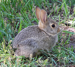 375px-Rabbit in montana