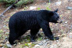 800px-Canadian Rockies - the bear at Lake Louise