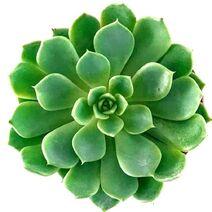 Pg-sedeveria-green-rose-800x800