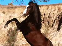 Mustang Uma Uma no Mi