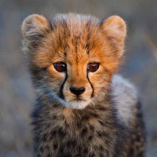 image cute baby cheetah jpg shipping wiki fandom powered by wikia