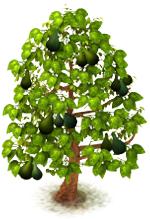 Sw avocado last