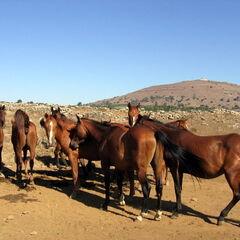 סוסים ליד הר אביטל