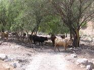 פרות ליד עין ארבל