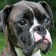 Boxerdoggo