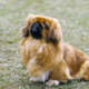 Pekingesedoggo