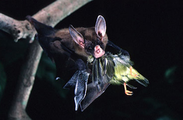 File:Vampyrum Eating.jpg