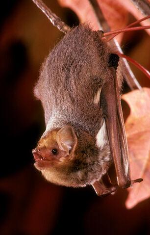 File:Eastern Red bat.jpg
