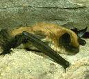 Бахромчатая летучая мышь