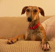 Galgo de sofá