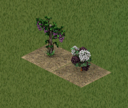 Uvas y bayas de saúco