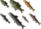 Fisch (Tier)