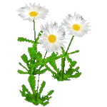 File:Wildflower Daisy.png