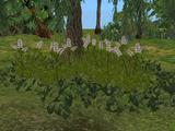 Nepeta Plant