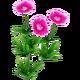 Wildflower Sweet William