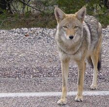 Coyote arizona