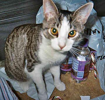 File:Snowshoe-cat-0007.jpg