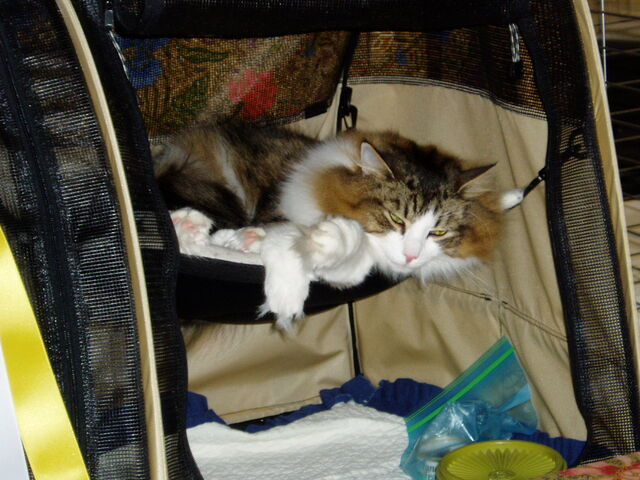 File:Ny-maine-coon2.jpg
