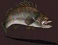 Fish-Sea Bass
