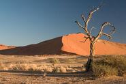 Thorn Tree Sossusvlei Namib Desert Namibia Luca Galuzzi 2004a