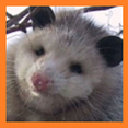 Opossum Avatar Google